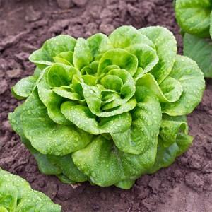 Kopfsalat im Bett Pflanze Grün Erde