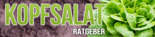 Kopfsalat pflanzen Titelbild
