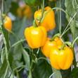 Paprika Gelb am Strauch frisch und lecker