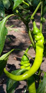 Peperoni Grün Pflanze Frisch Jung