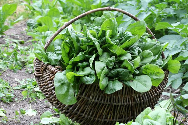 Spinat geerntet im braunen Korb auf dem Feld