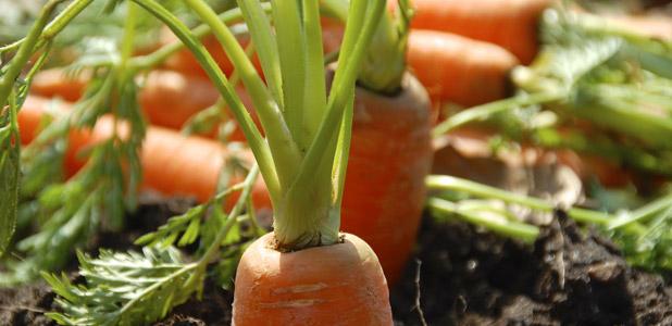 Karotten mit grün orange ernte